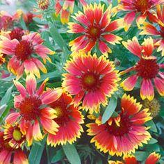 #Indian #Blanket #Seeds, #Gaillardia #pulchella - Wildflower Seeds from #High #Country #Gardens