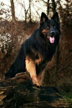 #German #Shepherd Gorgeous!