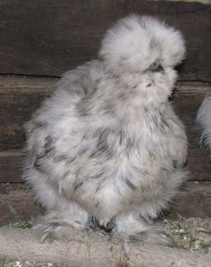 silkie chicken looks more like a big fur balm to me