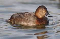 Common Pochard (Aythya ferina) female. The Common Pochard is a medium-sized diving duck.  The adult male has a long dark bill with a grey band, a red head and neck, a black breast, red eyes and a grey back. The adult female has a brown head and body and a narrower grey bill-band. The triangular head shape is distinctive. Pochards are superficially similar to the closely related North American Redhead and Canvasback.