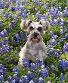 Springtime in Texas   #Texas  #Dogs  #TreasureJourneys  #Bluebonnets