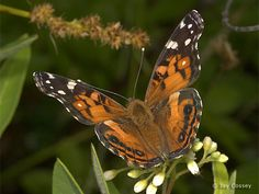 Photographs from Nature - Butterfly Gallery  American Lady, Vanessa virginiensis   Jay Cossey
