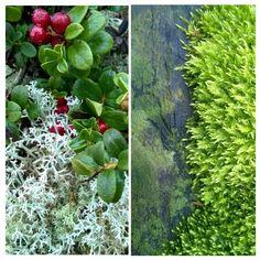 Puolukassa jäkälien ja sammalten väriloistoa ja struktuuria ihastellen#lingonberry Red#Moss Green