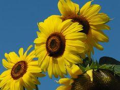 'Wild+Sunflowers+'+von+Linda+Schilling+bei+artflakes.com+als+Poster+oder+Kunstdruck+$16.63