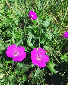 Coastline cliff flora Geraniums, Love Flowers, Cliff, Flora, Happiness, Plants, Bonheur, Being Happy, Happy