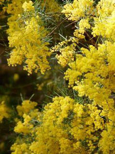 Acacia boormanii (Snowy River Wattle) is a medium, suckering, multi-stemmed… Australian Plants, Australian Garden, Australian Wildflowers, Alpine Meadow, Clay Soil, Different Plants, Tree Tops, Native Plants, Acacia