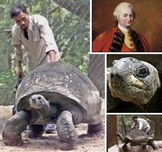 This is Adwaita a 550ib male Aldabra giant tortoise who was presented as a gift to Lord Clive (1725-1774) British seafarers had previously captured Adwaita and three other tortoises in the Seychelles near Madagascar. Estimated to have been born circa 1750, Adwaita lived at the Alipore Zoological Gardens in Kolkata, India, from 1875 to the time of his death on March 23rd 2006. Subsequent radiocarbon dating of Adwaita's shell confimed an age of approximately 255 years. Amazing!