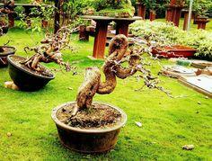 Bonsai Art, Bonsai Garden, Tamarindus Indica, Mame Bonsai, Bonsai Styles, T Art, Indoor Outdoor, Outdoor Decor, Flowering Trees
