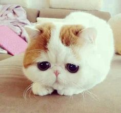 Omgggg i want this cat!!!