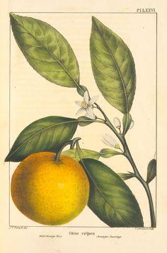 Vintage botanical print Image Wild Orange Tree (Citrus vulgaris).
