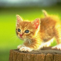 #Cats  #Cat  #Kittens  #Kitten  #Kitty  #Pets  #Pet  #Meow  #Moe  #CuteCats  #CuteCat #CuteKittens #CuteKitten #MeowMoe      Hey there Ginger Kitty! ...   http://www.meowmoe.com/43660/