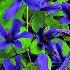 Clematis Miranda Clematis Miranda 'Miranda' , bred by Barry Fretwell , is a sister plant of the better known 'Arabella'. Similar to 'Arabella,' 'Miranda' is a darker blue, non vining  integrifolia plant that will mingle with shrubs or spill delightfully over the edge of a container or raised bed.  Keep it in the family and grow with 'Arabella' and Fretwell's 'Amanda Marie' for a striking combination in any style of garden.  HEIGHT | 4-6 ft. ZONES | 4-8 PRUNING GROUP | 3 BLOOM PERIOD | May…