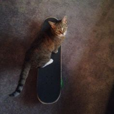 Instagram #skateboarding photo by @bboyruffington - Someone's about to go pro #bigtime #skateboarding #cat #instacat #cutepets #cutepetclub #gopro #cats #catsofinstagram #funnypets #buster #9lives #daredevil #fur #friends #rescue #streetcat #alleycat #adopt #paws. Support your local skate shop: SkateboardCity.co