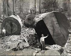 CALIFORNIA - Redwoods 19th cent.