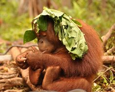 Orangutan ~ one, two.... now what comes next?