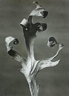 Silphium lacinatum #dailyconceptive #diarioconceptivo