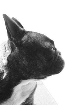 Mila ..french bulldog