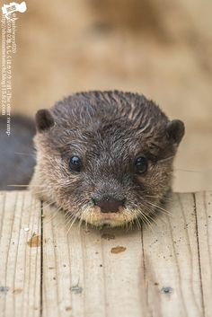 Yes, little otter, that wooden platform makes a good chin rest - December 26, 2014