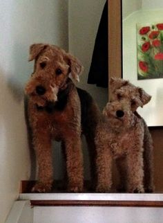 Airedale & Welsh terriers