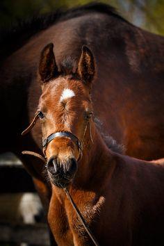 Daily Dose - December 2, 2016 - Bay Baby - Arabian Horse Foal  2016©Barbara O'Brien Photography