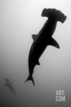 A Silhouetted Scalloped Hammerhead Shark, Sphyrna Lewini, Swimming Photographic Print by Jeff Wildermuth at Art.co.uk