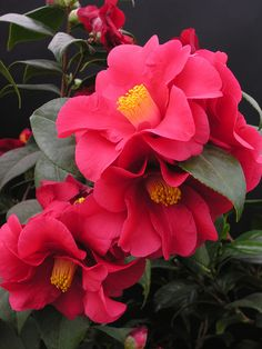 Stunning blossoms from the Camellia japonica. They blossom in late winter/early summer and provide that bit of brightness. They symbolise eternal love and devotion. Exotic Flowers, My Flower, Flower Art, Flower Power, Beautiful Flowers, Winter Plants, Winter Flowers, Flowers Nature, Camellia Japonica