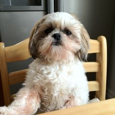 Cute Shih-tzu Millie sitting at table