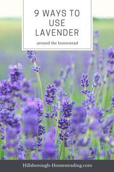 Check out these 9 unique ways to use lavender around the homestead. From first aid, to laundry, to cooking, these 9 ways to use lavender essential oil or fresh plant will keep you busy all summer long! | Hillsborough Homesteading