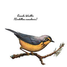 jadafitch:  Canada Warbler(Cardellina canadensis)
