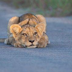 Lion cub in Kruger National Park, South Africa. #digitalwild #hendriventer #natgeotravel #lionsofafrica #lion #wild #wildlifephotography #wildlife #lioncub #natgeowild #natgeo #earthpix