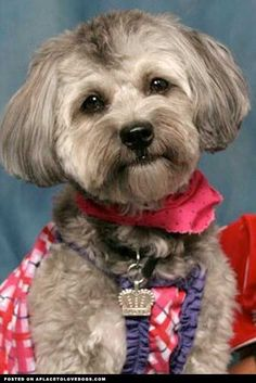Image result for havanese hair cuts