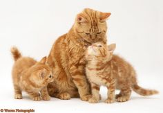 cats and kittens | Red tabby British Shorthair mother cat and kittens photo - WP11779