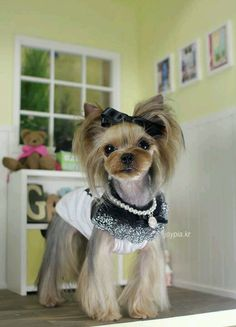 Asian style yorkie