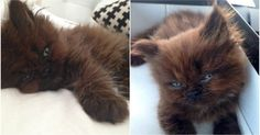 A woman adopted this strange kitten. One year later, his transformation is unbelievable...