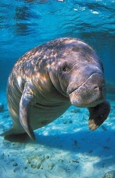 I love swimming with the Manatees!
