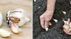 How to plant and harvest garlic step by step Organic Plants, Organic Gardening, Gardening Tips, Balcony Garden, Garden Plants, Planting Garlic, Growing Veggies, Garden Architecture, Plantar