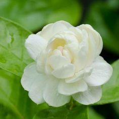 """""""ดอกมะลิ""""(Jasmine Flower) หมายถึงเป็นดอกไม้ที่ได้รับความปราถนาดีเป็นที่รักและคิดถึงของคนทั่วไป อีกทั้งยังเป็นสื่อแทนของความกตัญญู เปรียบได้กับความรักอันบริสุทธิ์ของแม่ที่มีต่อลูก...It is a flower that has been loved and missed by the people. It is also a substitute for gratitude. It is comparable to pure mother's love for children. #flowers#flowershow#flora #florist#flowerlover #plant#nature…"""