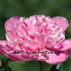 """Fragrant Peony Alexander Fleming  Fr Fleming/ $20 smell. cut. double. lt. pink.mid. 38"""" tall. week6"""