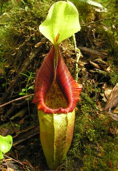 BE3133 Nepenthes ovata