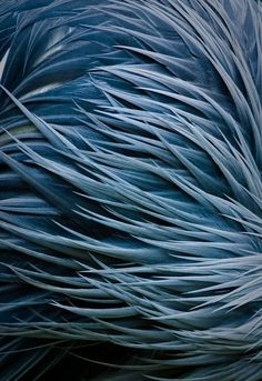 Blue crane feathers.
