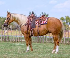 American Quarter Horse, Quarter Horses, Palomino, Horse Tack, Friends In Love, Paint Horses, Horse Stuff, Champagne, Pearl
