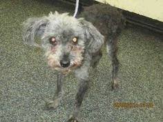 Meet GERT a Petfinder adoptable Poodle Dog   Toledo, OH   Gert is a 7yr. old mini poodle mix that was brought in because the owner could no longer care for...