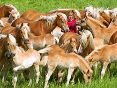 Horsing Around - Stablehand trainee Torie Stanelle stands between Haflinger horses in one of  Europe's largest Haflinger stud-farms in Meura, Germany.  The farm is home to more than 330 Haflinger horses.