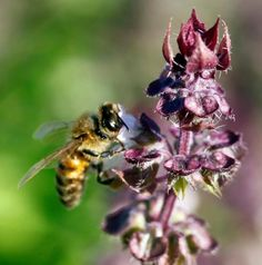 Homegrown: Garden for bees and for the honey | Food & Drink | NewsObserver.com