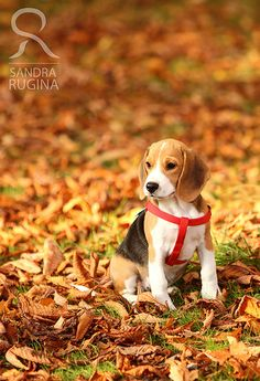 Greeting card with a small cute Beagle puppy by behindmyblueeyes, $7.00