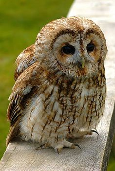 "We're pretty sure that the owl keeping watch over our property is a Tawny Owl. Not positive, but 90% sure.   ""Its nocturnal habits and eerie, easily imitated call, have led to a mythical association of the Tawny with bad luck and death."" (wiki)   Great!  ""The Tawny Owl or Brown Owl (Strix aluco) is a stocky, medium-sized owl commonly found in woodlands across much of Eurasia. This owl is non-migratory and highly territorial."" (wiki)"