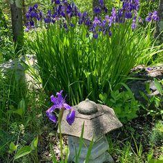 Irises in bloom at Shirakaba. Last minute opening for weekend June Anniversary Getaways, Clark Art, Last Minute, Irises, Goodies, June, Bloom, Boutique, Plants