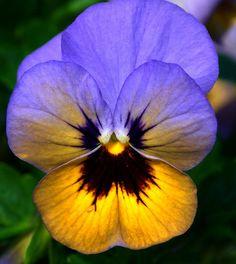 Hoornviooltje - Horned Pansy - Viola Cornuta by RuudMorijn, via Flickr