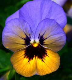 Hoornviooltje - Horned Pansy - Viola Cornuta by RuudMorijn, via Flickr