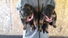 Breeder; Klienbrook Kennels / Klienbrook German Shepherds. Puppies now available. Visit: www.klienbrook.com/our-puppies